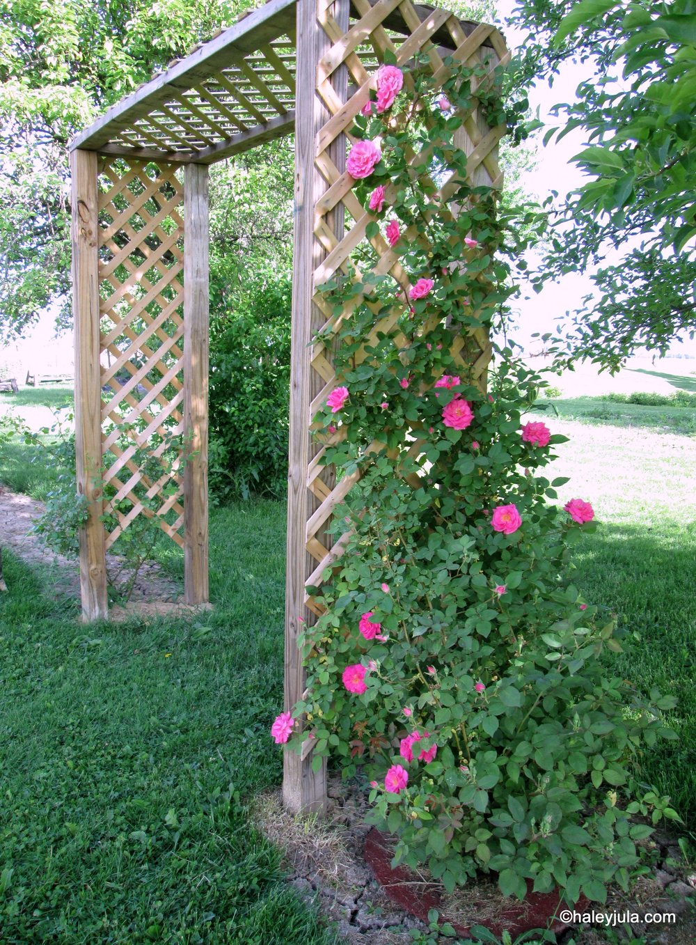 Roses blooming in the Spring