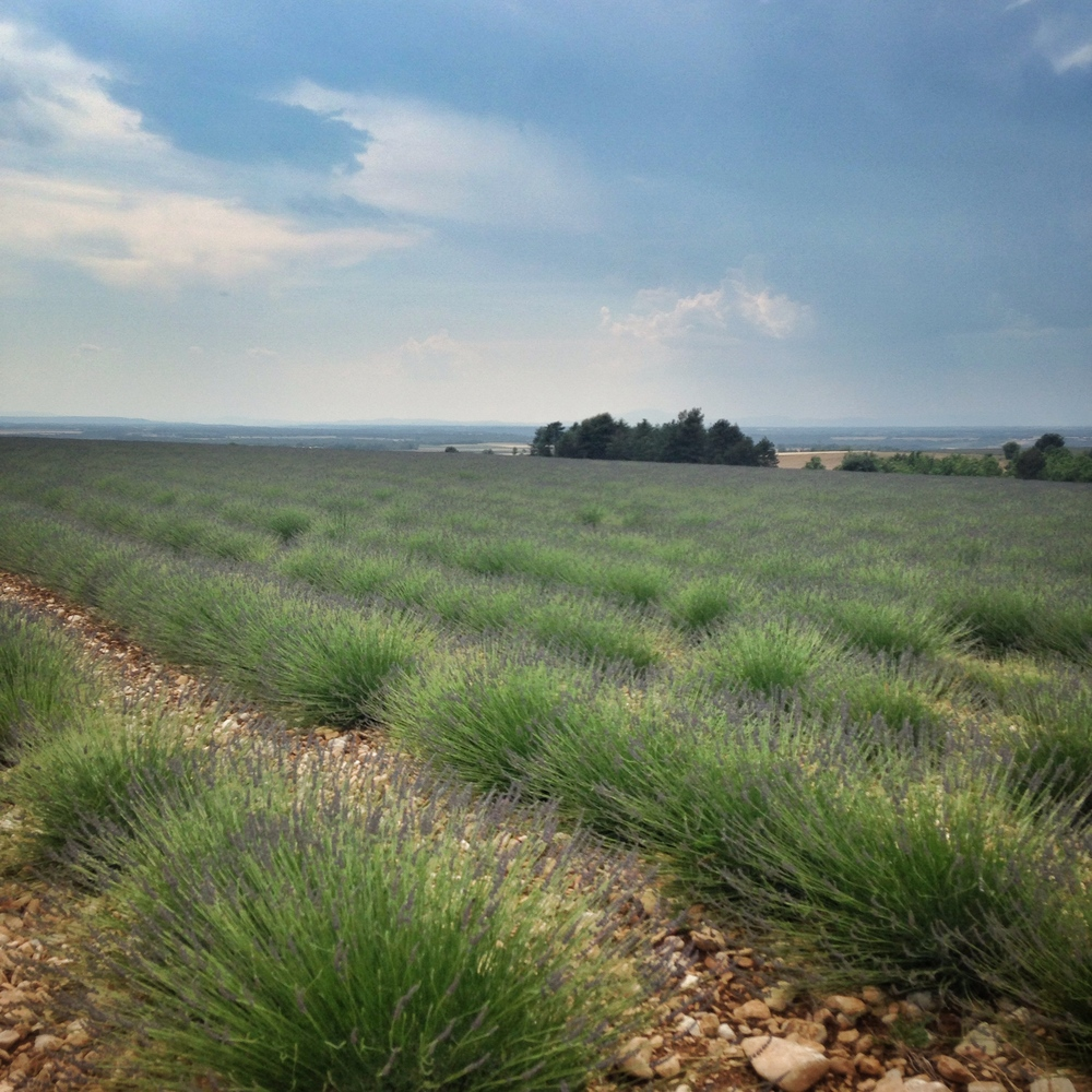 Early blooming lavender fields EAT.PRAY.MOVE Yoga Retreats | Provence, France