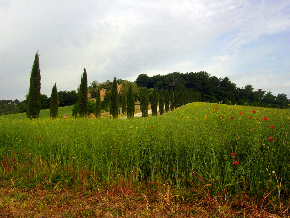 Poppies blooming by the cypress Siliano Alto EAT.PRAY.MOVE Yoga Retreats | Tuscany, Italy