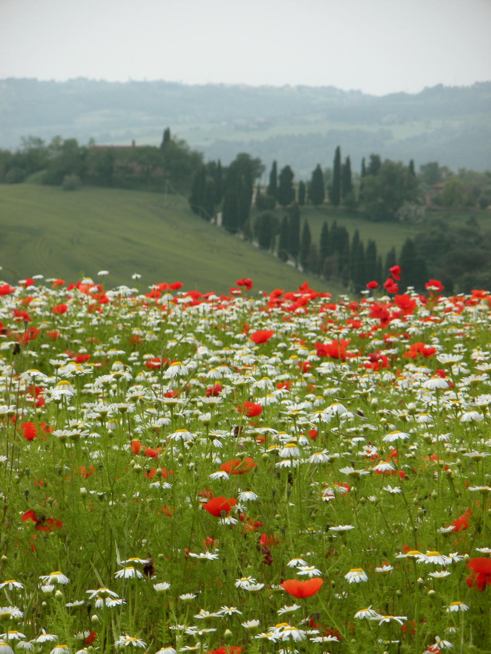 Brilliant red poppies EAT.PRAY.MOVE Yoga Retreats | Tuscany, Italy