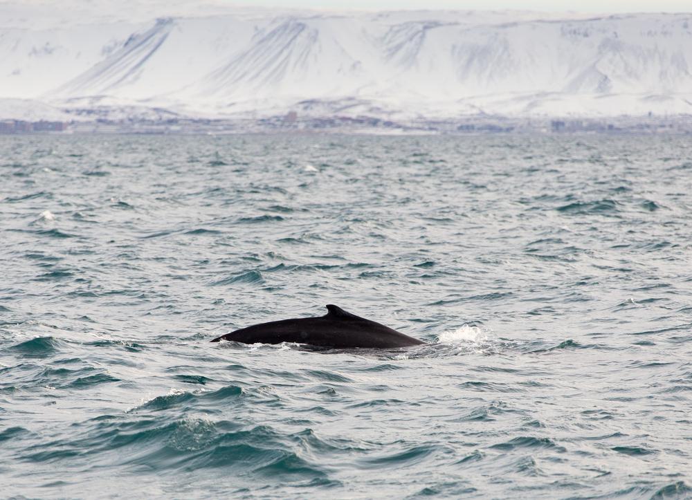 Humpback whale, Reykjavík Harbour, Iceland