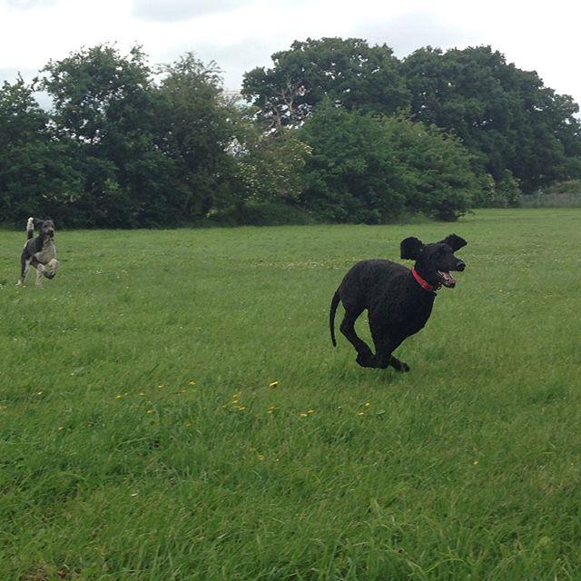 Happy Poodle-Gang 😊🐩🐩🐩 #koenigspudel #grosspudel #pudel #gluecklichehunde