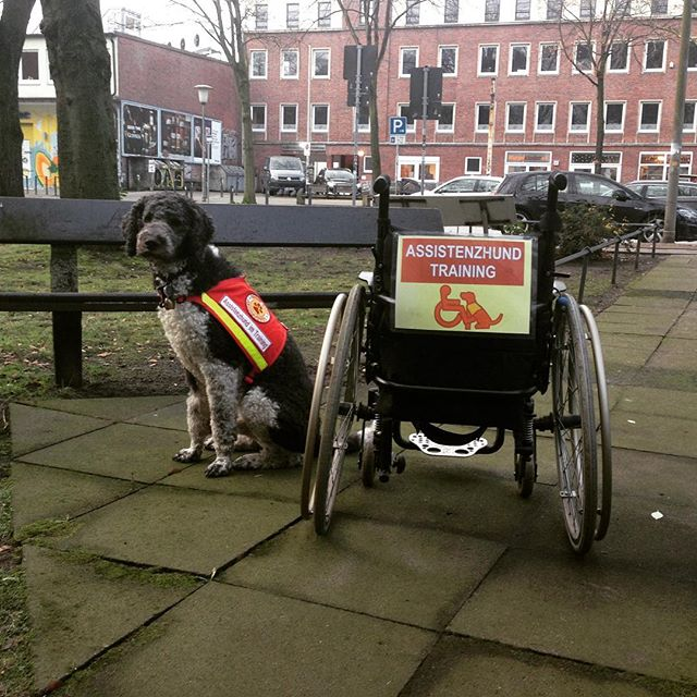 Findus im Training #assistenzhund #assistenzhundinausbildung #grosspudel #grosspudel #assistenzhundimtraining #servicehund