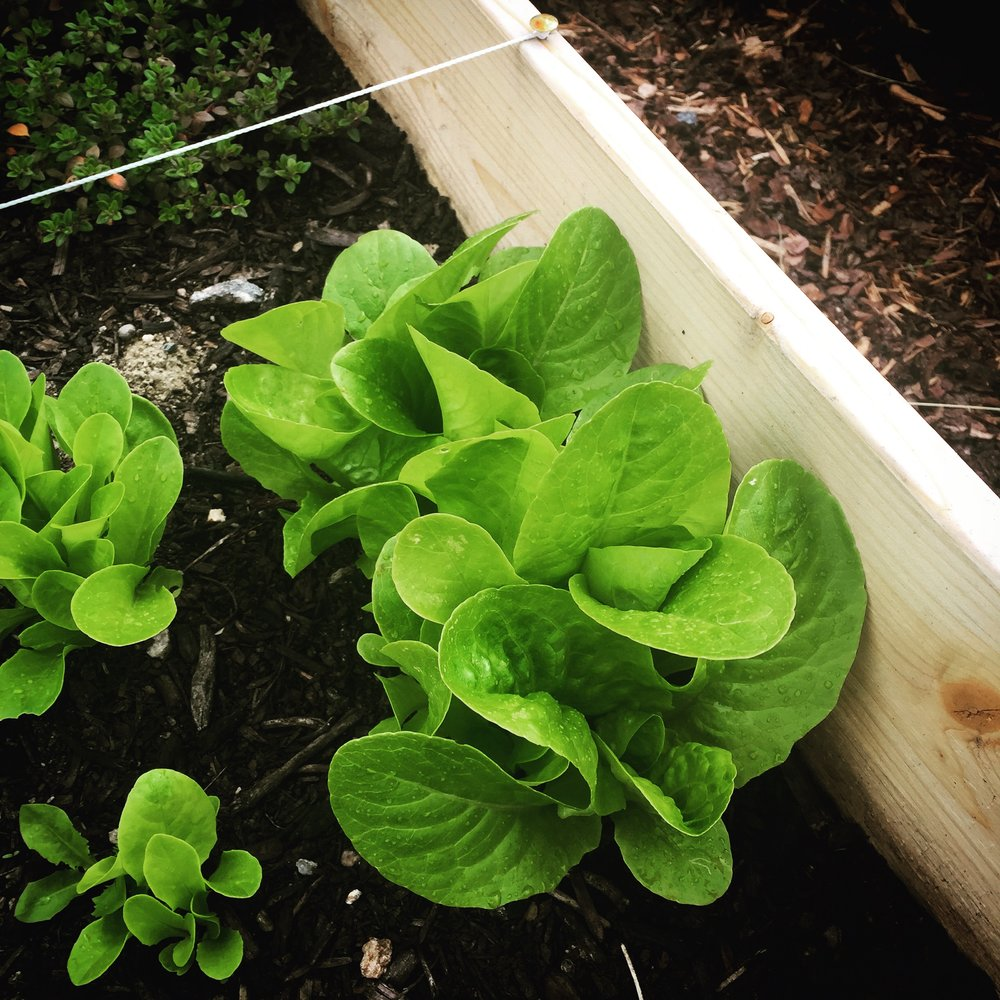 Organic salad grown in Oslo