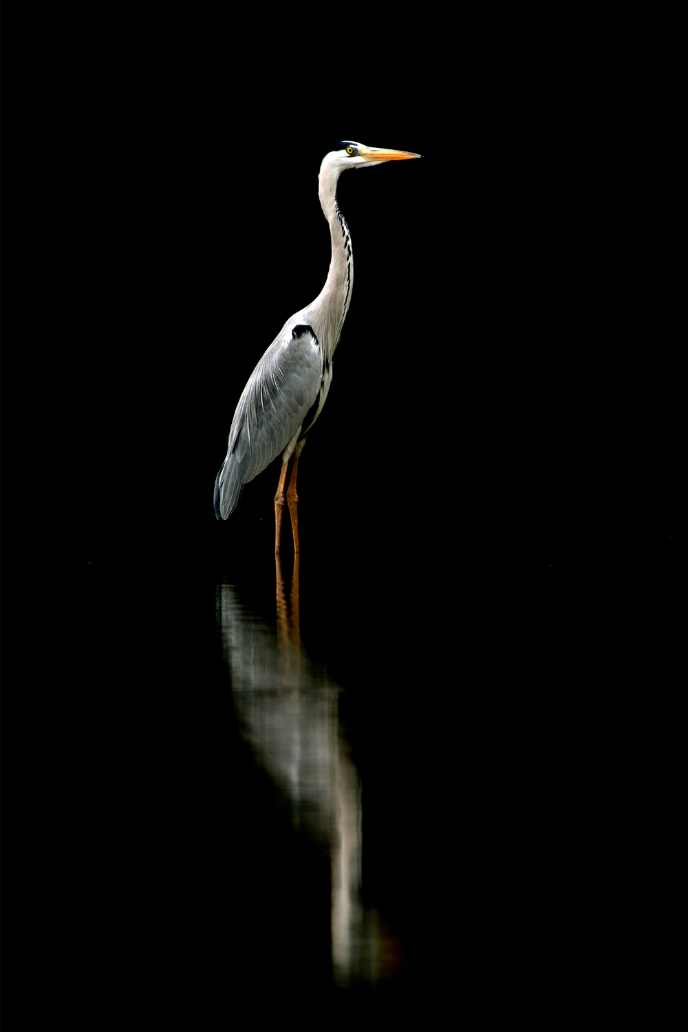 Grey Heron Reflection.jpg