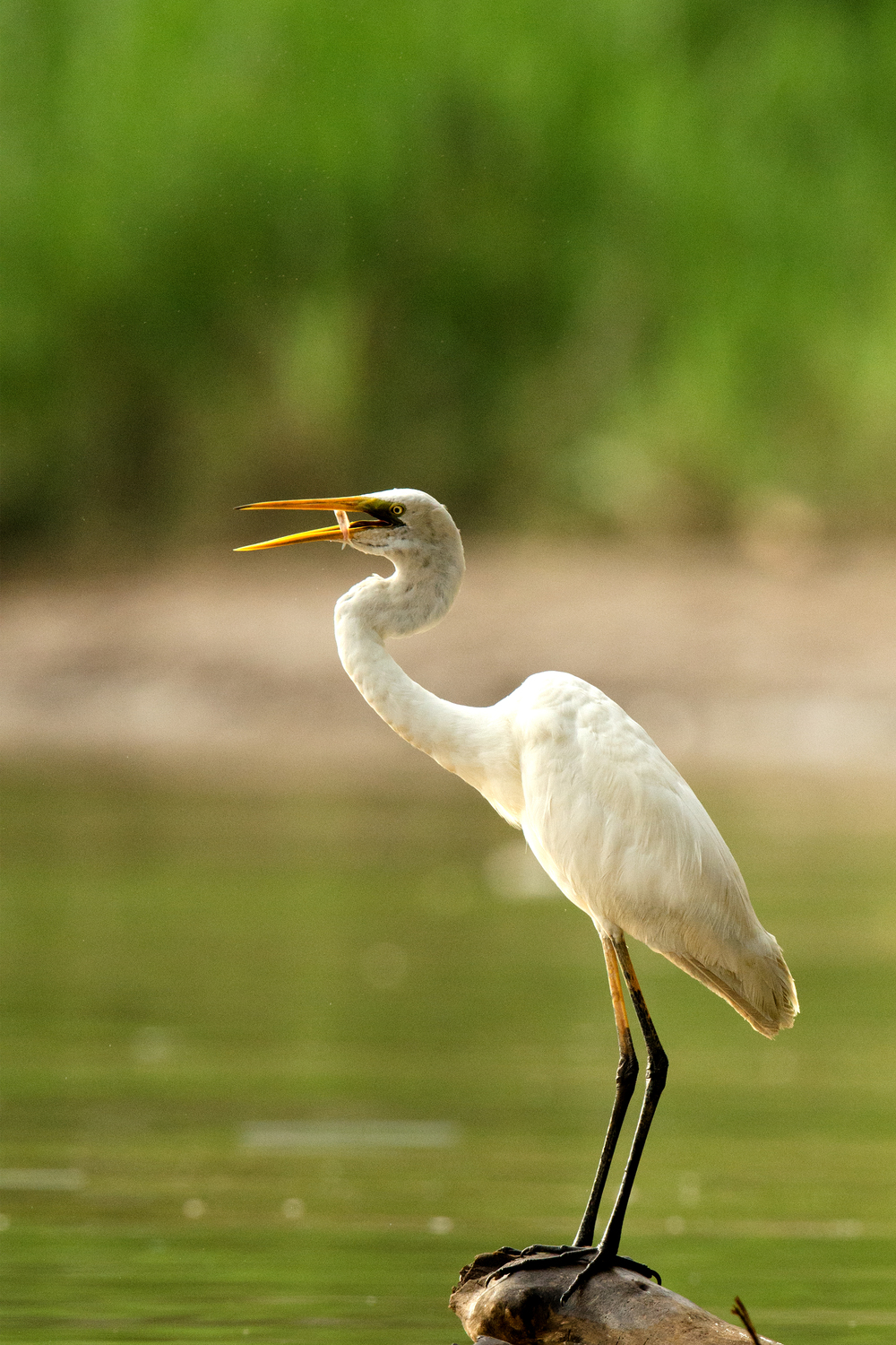 Great Egret with Fish.jpg