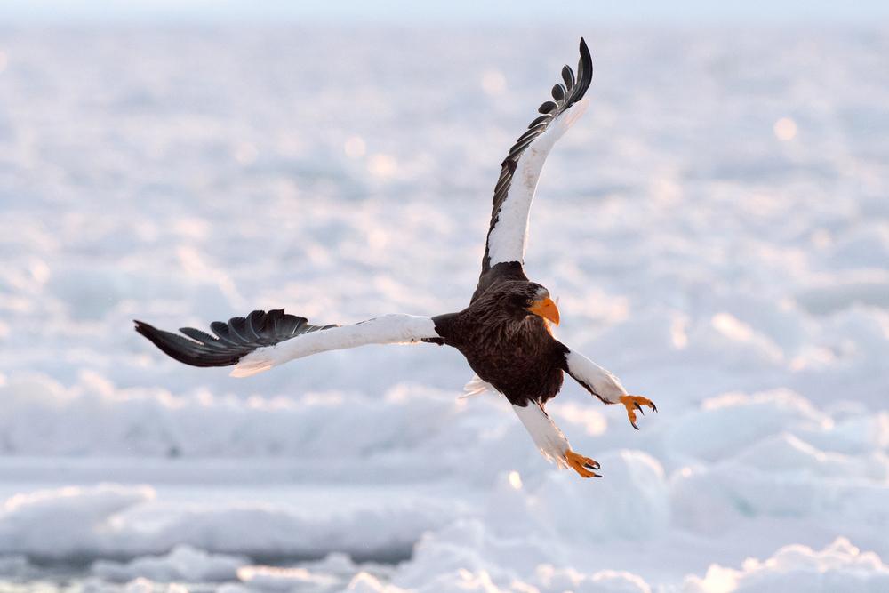 Stellar Sea-eagle.jpg