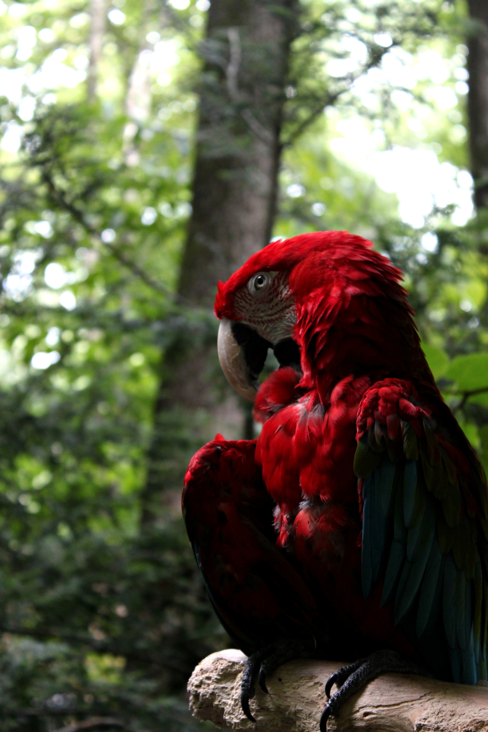 A Scarlet Macaw enjoying the weather after the rain.