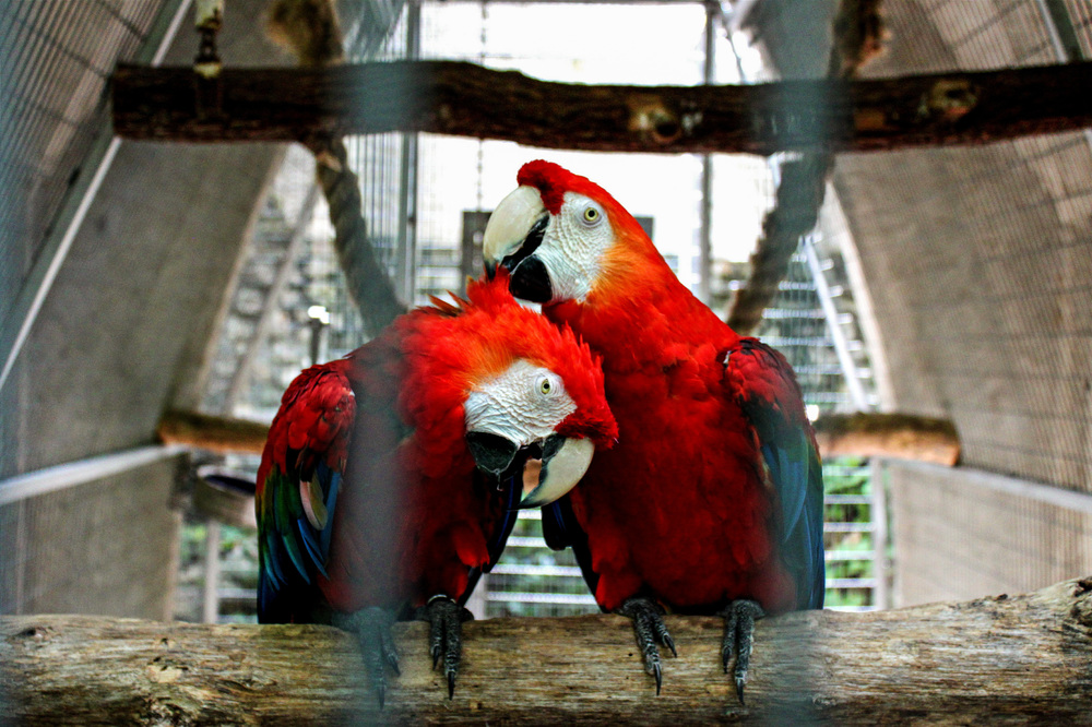 Two Scarlet Macaws playing and grooming each other after the rain at Parrot Mountain, a nature preserve for rare and exotic birds in Pigeon Forge, TN.