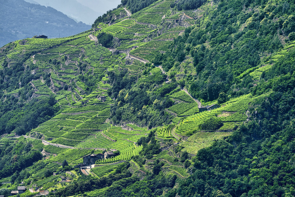The vineyards of Valtellina of Lombardia in Northern Italy.