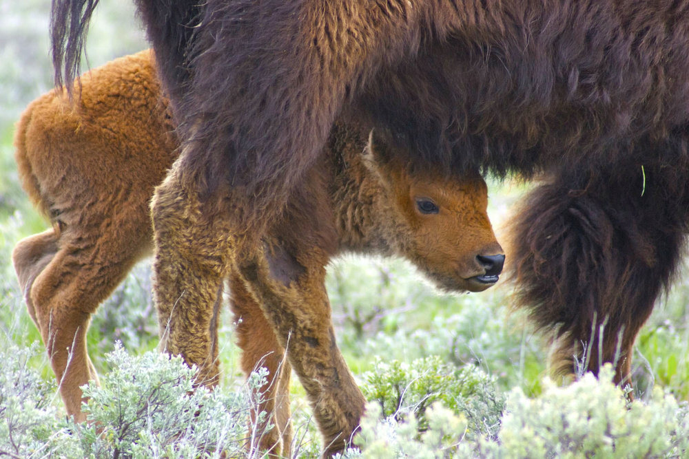 "Bison baby and mama. People who do not know about the bison call them ""little red dogs."""