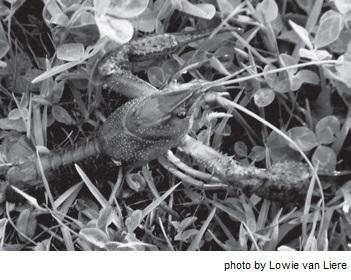 mb63-Crayfish1