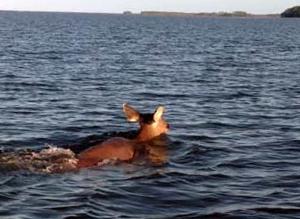 A sambar deer swimming
