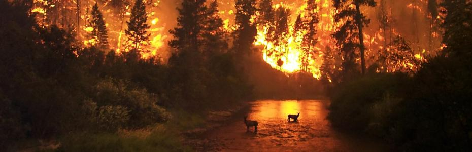 Deer take refuge from a forest fire in a stream