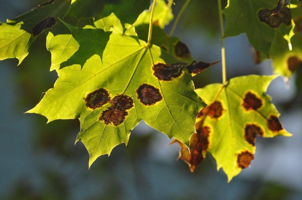 maple leaves exhibiting black tar fungus