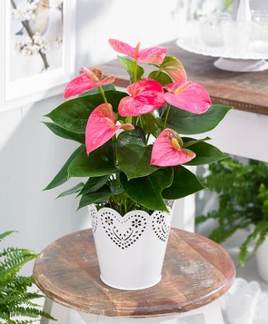 indoor pink anthuriums