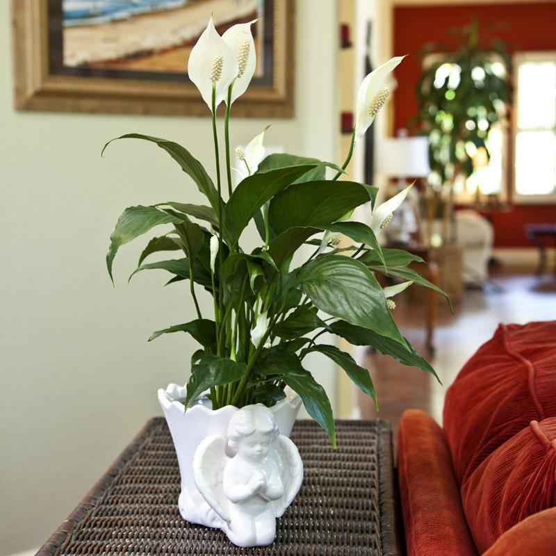 indoor white lilies