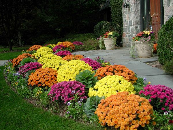 colourful dahlia shrubs