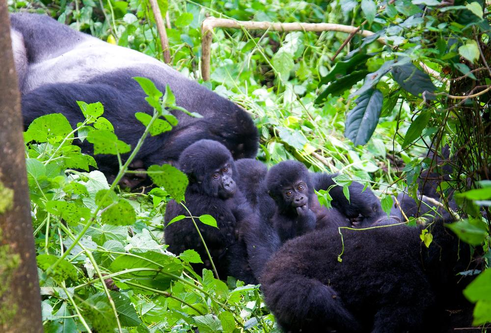 A trope of Silverback Mountain Gorillas in Uganda's Bwindi Impenetrable National Park.                                                                                    © Chase McNabb