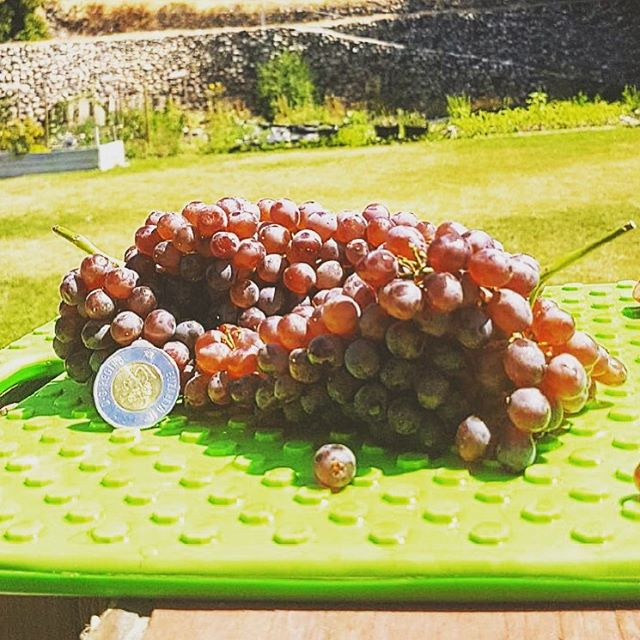 Tiny pearls of sweetness🍾  #seasonsharvest #yycfoodie #yycchefs #bcfruit #summerfruit #grapes #toonie #mini #redchampagne #delicius #tastee #delightful #pearls #vine #fresh #packingday #bcfruit #scrumptious #cheers #bclocal