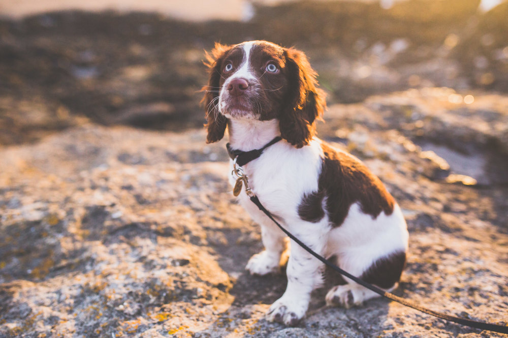 Coco our Springer Puppy