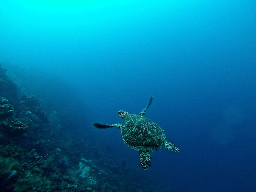 Sea Turtle swimming off the Honduran diving mecca of Roatán. Photo by  Erin Simmons  on  Unsplash