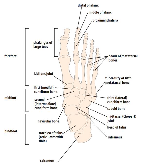 Foot Anatomy Mj Taranto Podiatric Surgeons
