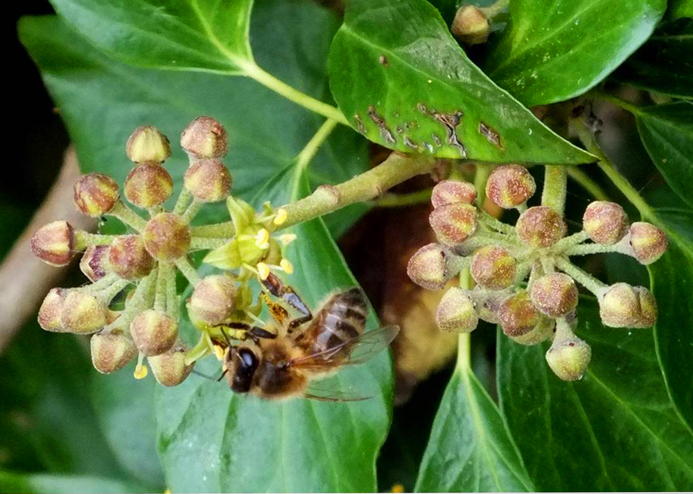 THE IVY PLANT IS A RICH SOURCE OF POLLEN AND NECTAR FOR MANY SPECIES OF INSECT