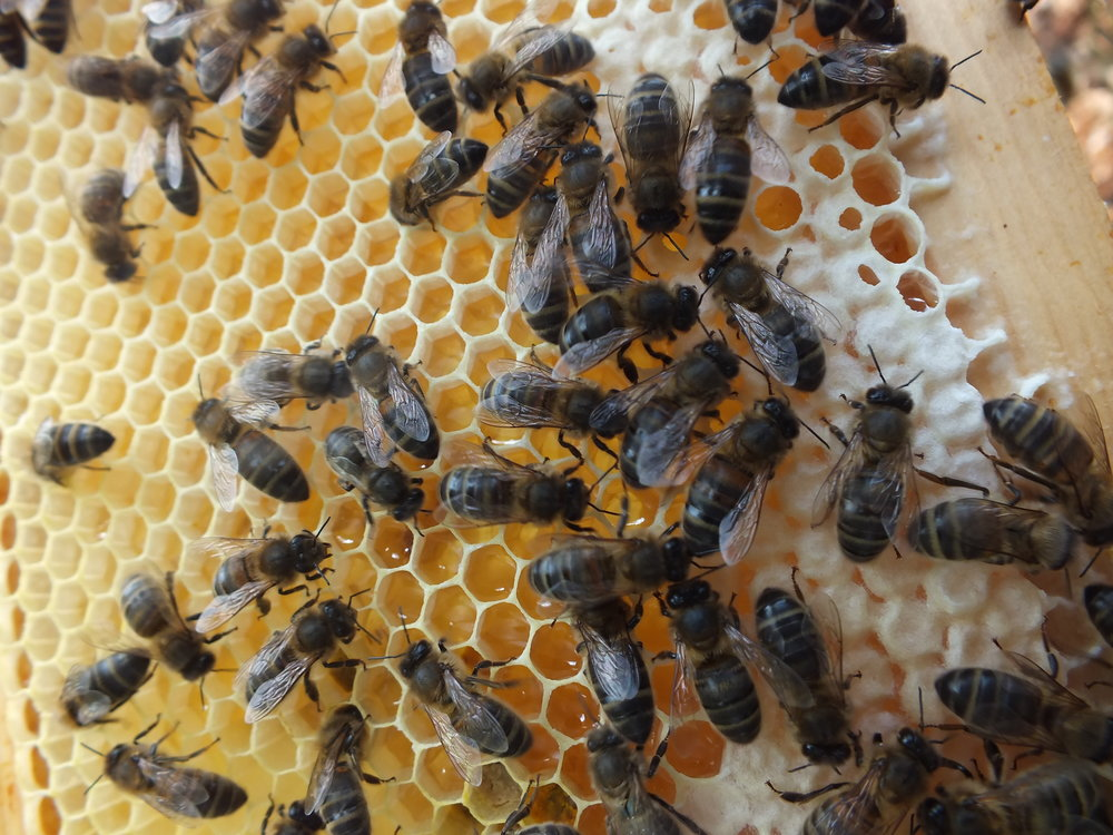 BEES ENTERING HIVE WITH CROCUS POLLEN