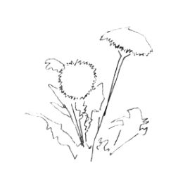 Dandelion Root (Taraxacum officinale): Process: Dried certified organic and kosher Dandelion leaf and root,USA Qualities: Detoxifying, supports healthy functioning of liver, kidneys, spleen, and gallbladder Found In: Detox Tea