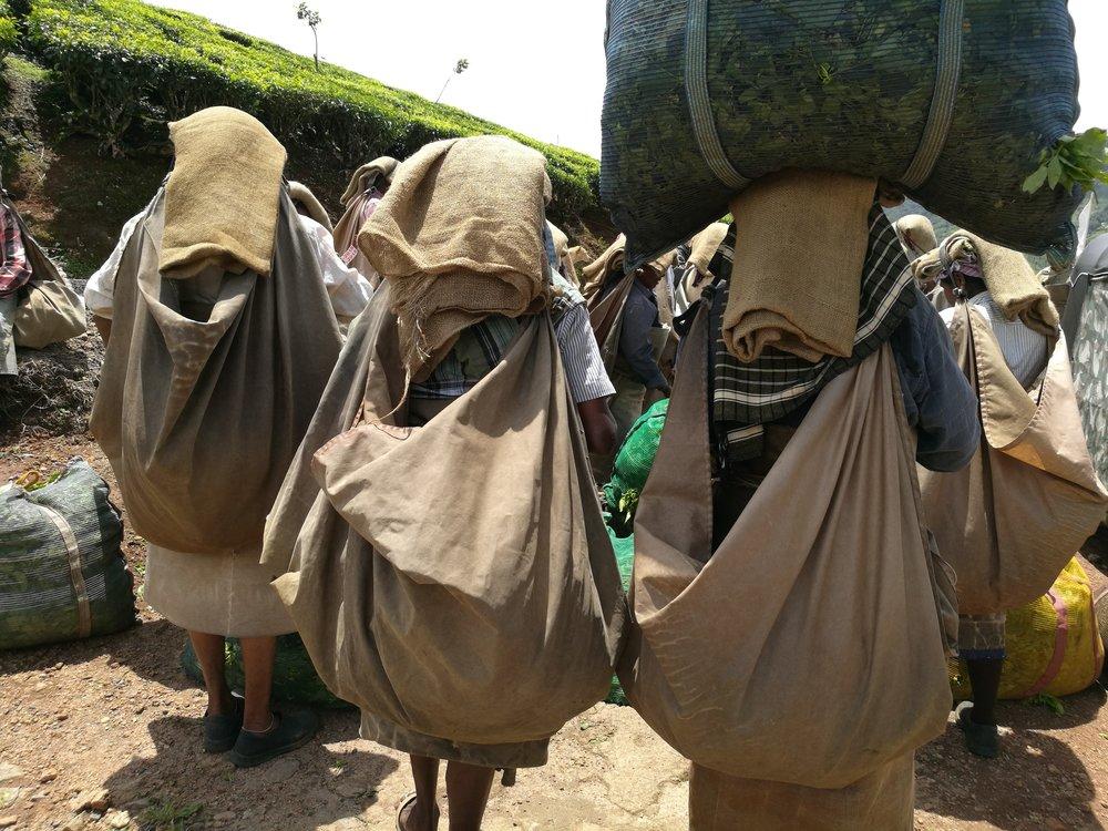 Ladies Harvesting Tea