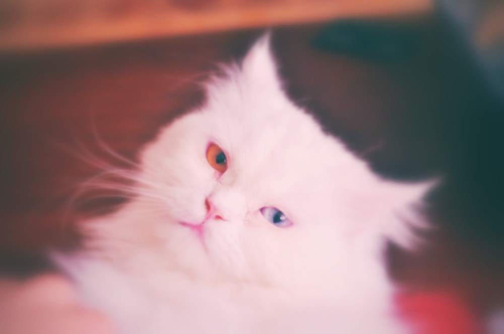 This is a cat that graced my life for a year, named Mooncake. He was deaf and pure gentleness. I think of him and feel the sweetest pain in missing him.