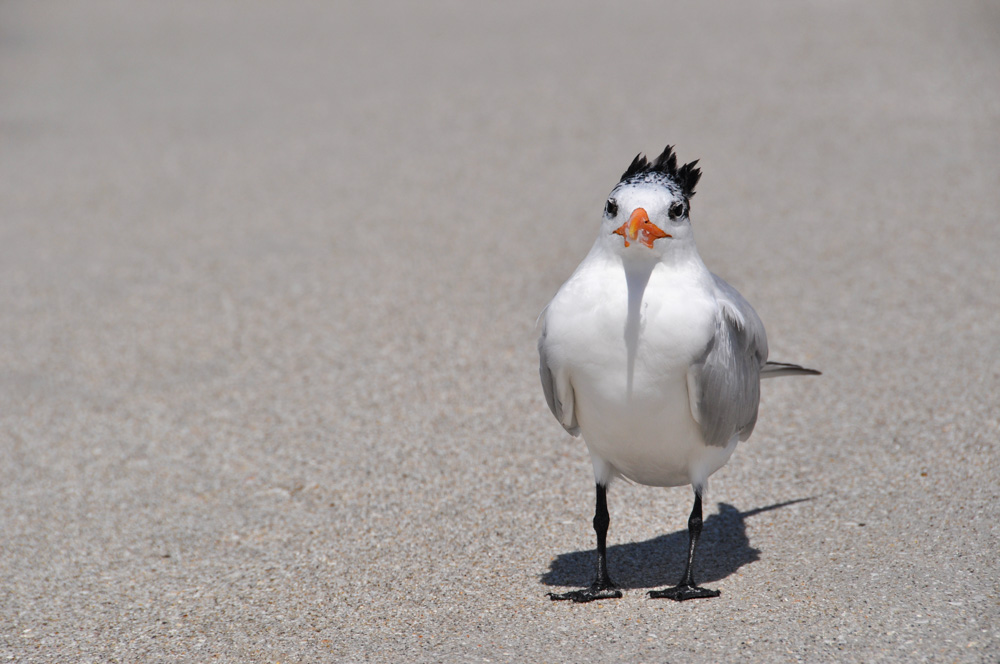 Seagull Florida-3-30.jpg