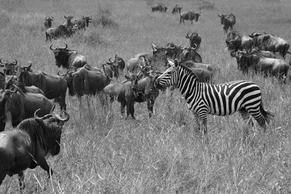 Zebra Print only 20x30-10.jpg