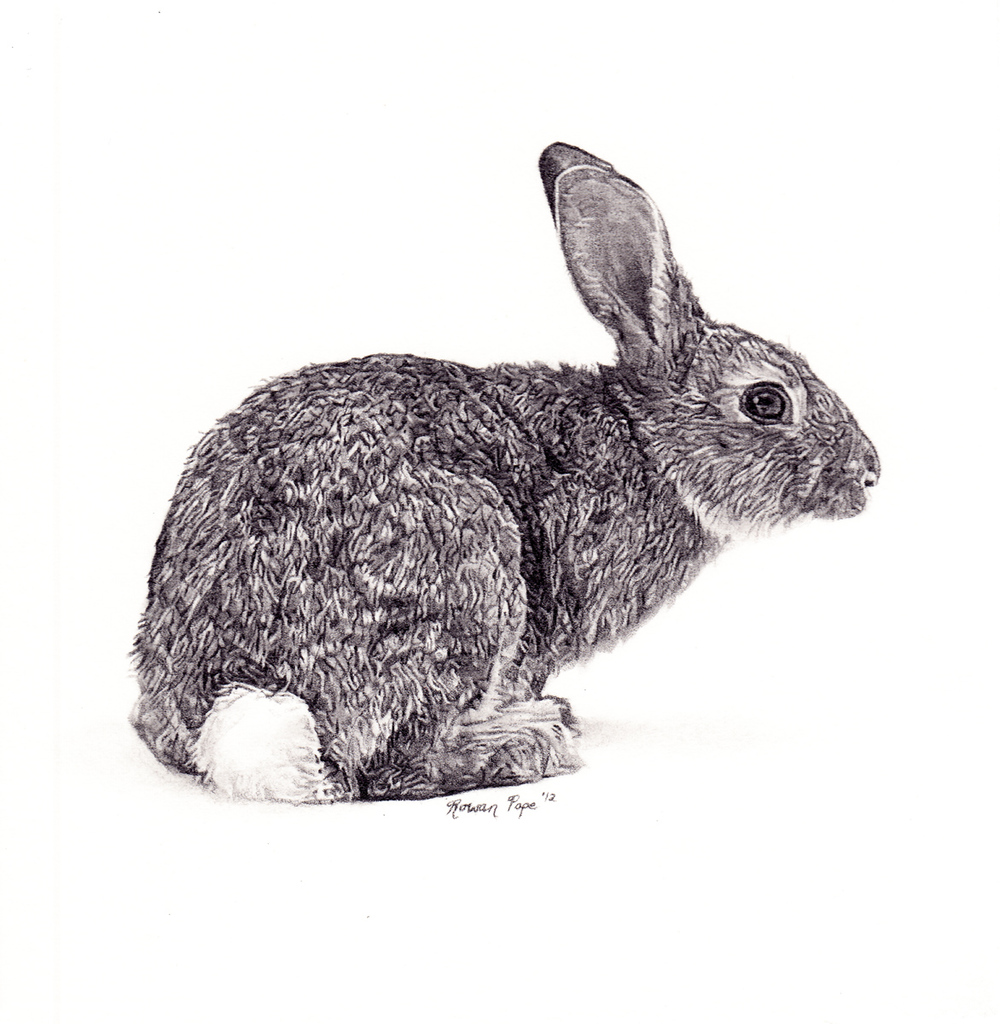 "Rabbit, pencil, 4"" x 4"" - by Rowan Pope"