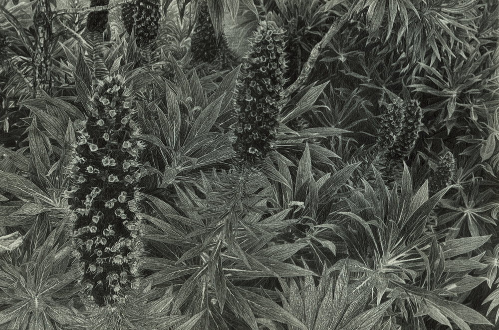 "California Cone Flowers, pencil, 7"" x 10"" - by Rowan Pope"