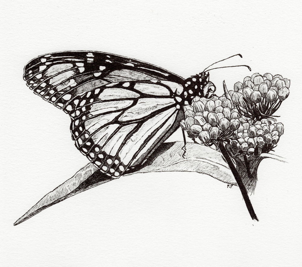 "Butterfly on Milkweed, pen, 4"" x 6"" - by Rowan Pope"