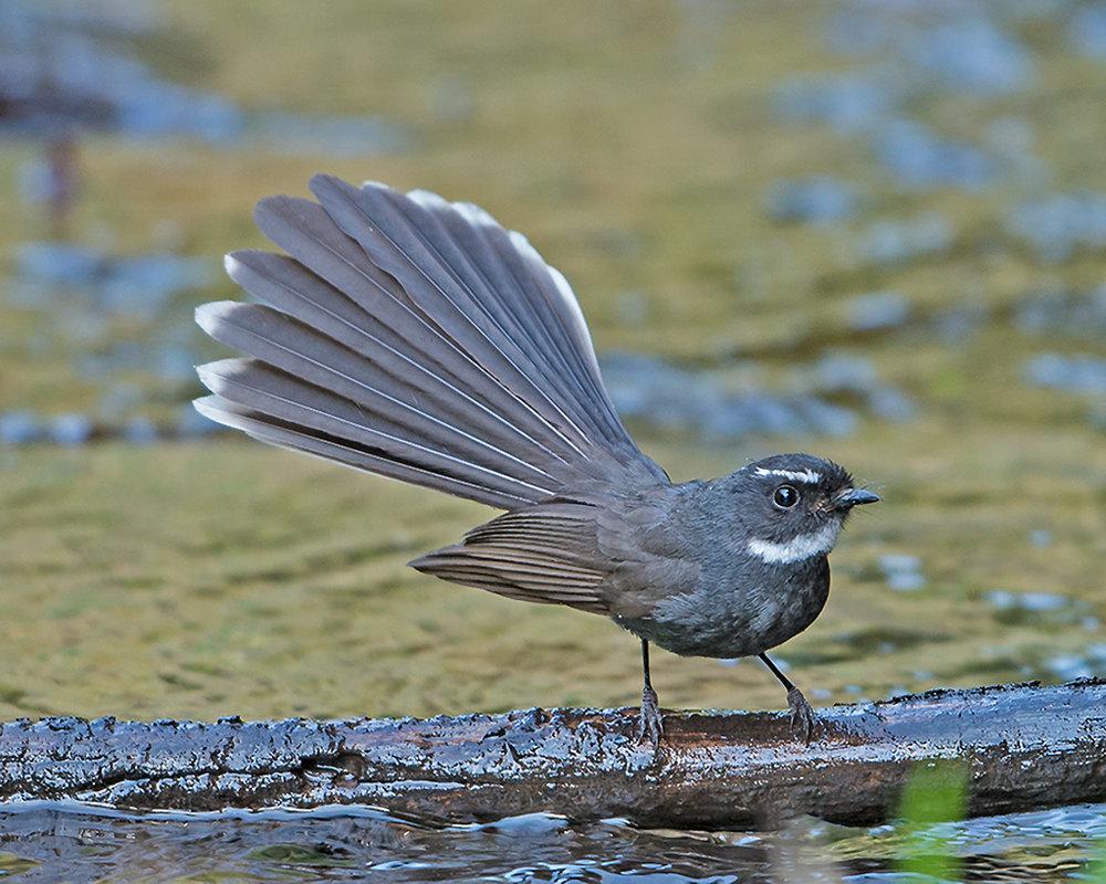Rhipidura_albicollis_-Sattal,_Uttarakhand,_India-8.jpg