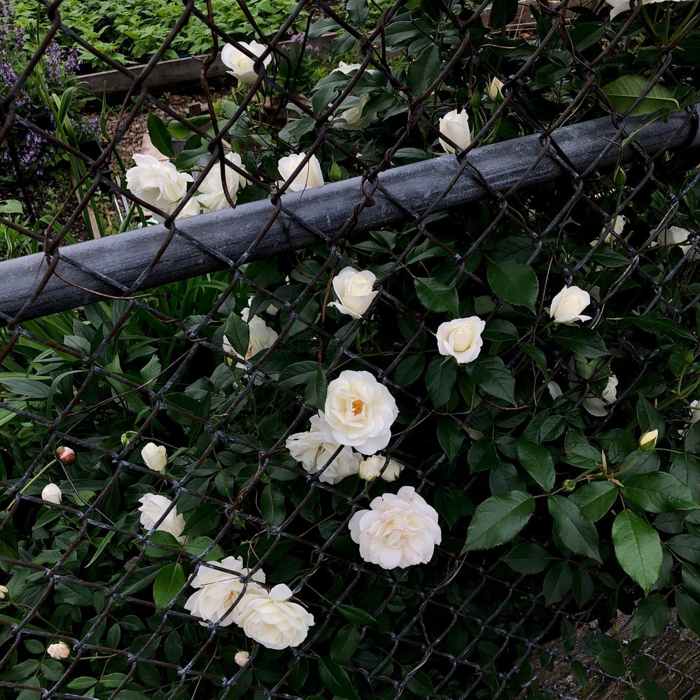 roses through a fence