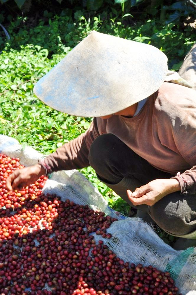 Sorting coffee fruits after picking