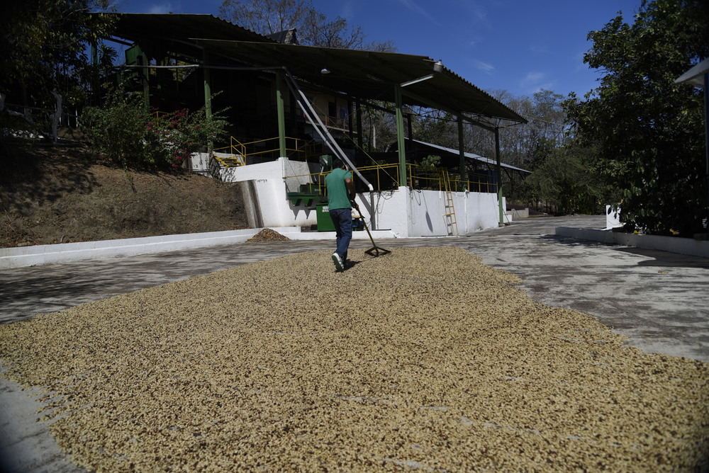 Dennis, our host at Planta Procesadora Diria, raked through an end-of-season batch of organic coffee on a drying patio.
