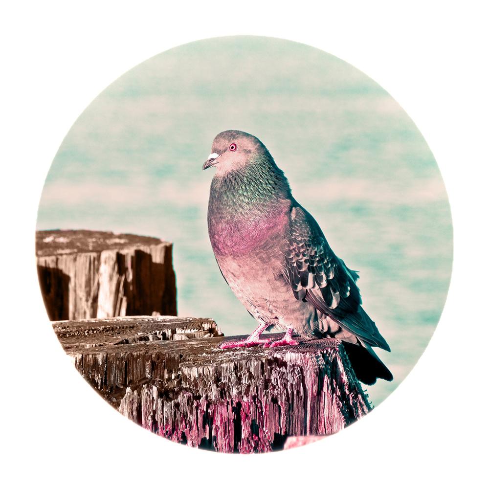 Gentleman Pigeon