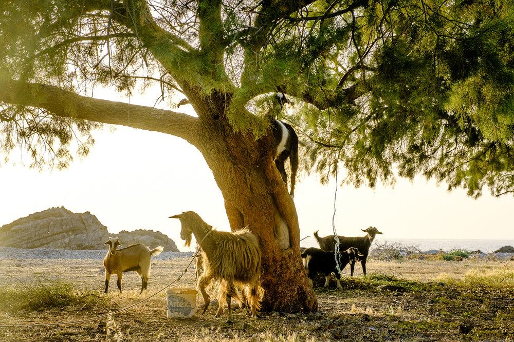 Tree Goat.jpg
