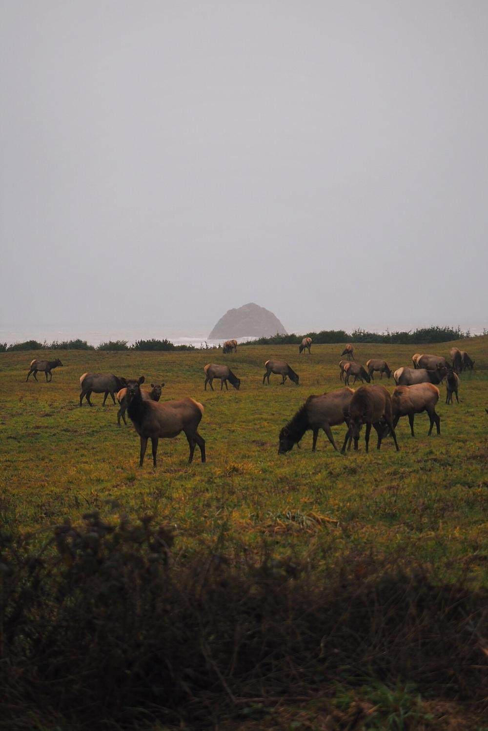 Curious/angry elk near Gold Beach, OR
