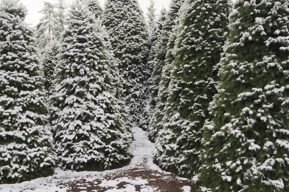 christmas tree forest.jpg