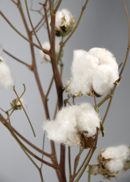 cotton branches.jpg