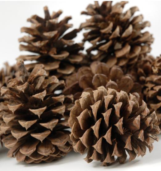 ponderosa-pine-cones-11-12-cones-pkg-4.jpg