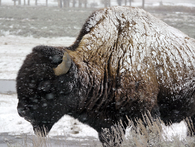 yellowstone_bison_snowstorm.jpg