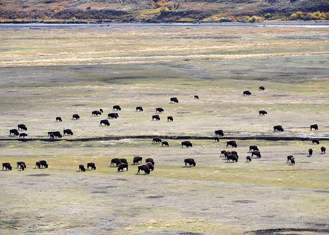 oct4_bison.jpg