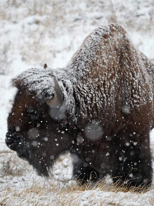 nov2_bison.jpg